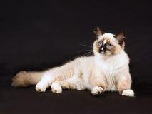 Recht nettes Ragdoll Kätzchen auf schwarzem Hintergrund Lizenzfreies Stockbild