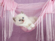 Recht nettes Ragdoll Kätzchen in der rosafarbenen Hängematte lizenzfreie stockbilder