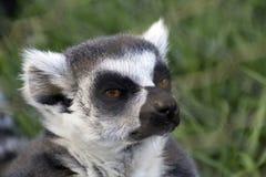Recht neugieriger Lemur lizenzfreie stockbilder