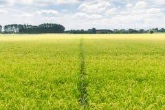 Recht op de rijsthorizon Stock Foto's