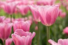 Recht Pastellrosa-Tulpen Holland Michigan Festival Lizenzfreie Stockfotografie