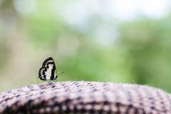Recht Pierrot Butterfly (Caleta-roxus) royalty-vrije stock foto's