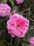 Recht rosa Blumen unter den Blättern stockbilder
