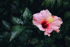 Recht rosa Hibiscus Rosa Flower Lizenzfreie Stockbilder