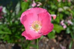 Recht rosa Mohnblume Stockbild