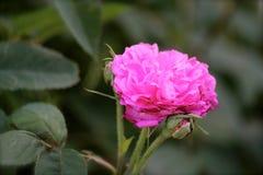 Recht rosa Rose Stockfoto