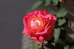 Recht rosa Rose Lizenzfreies Stockbild
