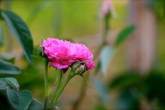 Recht rosa Rose mit Garten im Hintergrund Lizenzfreie Stockfotos