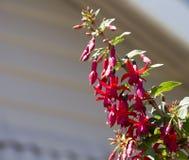 Recht Rosa und rote einzelne Fuchsie im Sommer blühen Lizenzfreie Stockbilder