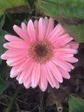 Recht rosafarbene Blume Stockbild