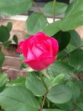 Recht rosafarbene Blumen stockbilder