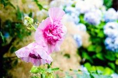 Recht rosafarbene Blumen Stockfoto