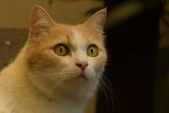 Recht rote Katze Lizenzfreie Stockfotos