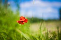 Recht rote Mohnblume Stockfotografie