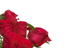 Recht rote Rosen auf Weiß mit Raum für Text. Lizenzfreie Stockbilder