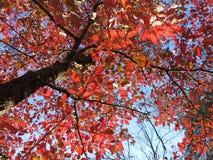 Recht roter Blatt-Herbstlaub im November Lizenzfreie Stockbilder