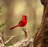 Recht roter Vogel gehockt auf einer Niederlassung Stockfotografie