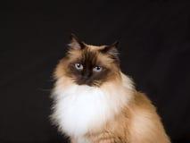 Recht schöne Ragdoll Katze auf schwarzem Hintergrund Stockbilder