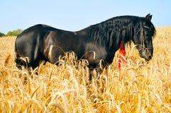 Recht schwarzes Pferd auf dem goldenen Gebiet Lizenzfreie Stockfotografie