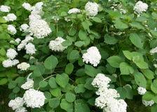 Recht weiße Blumen Lizenzfreie Stockfotografie