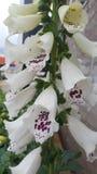 Recht weiße purpurrote Blume Stockfotografie
