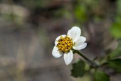 Recht weiße und gelbe Blume Stockfotografie
