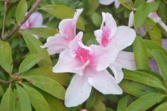 Recht weiße und rosa Blumen Lizenzfreie Stockfotografie