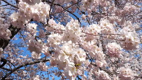 Recht weißer Cherry Blossoms stock video footage