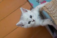 Recht weißes graues britisches Kätzchen, das am Katzenhaus hängt und oben schaut Stockfotos