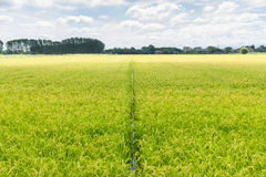 Recht zum Reishorizont Stockfotos