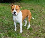 Rechte Seite des American Staffordshire Terriers stockbilder