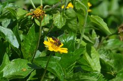 Rechte Seitenansicht einer wilden Honigbiene mit dem orange Blütenstaubsack, der Nektar von einem gelben Wildflower in Thailand s stockbild