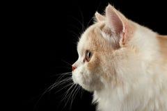 Rechte Tweekleurige Kat van het close-up de Schotse Hoogland, Geïsoleerde de Zwarte van de Profielmening royalty-vrije stock fotografie