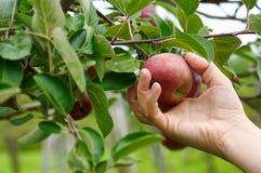 Het plukken appelen Stock Fotografie