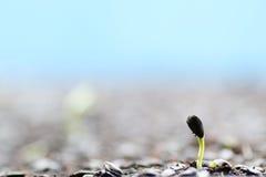 Recién nacido de la semilla de girasol, flor que germina, flor s del sol del sol Fotografía de archivo