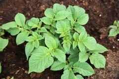 Recientemente plantas de patata Fotografía de archivo libre de regalías