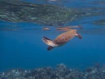 Recife azul claro subaquático do oceano da tartaruga de mar abaixo da superfície acima fotografia de stock
