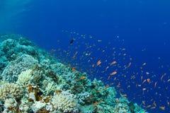 Recife coral com anthias do lyretail foto de stock