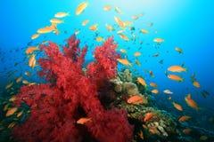Recife coral e peixes tropicais Fotografia de Stock Royalty Free