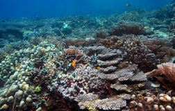 Recife coral indonésio imagens de stock