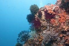 Recife coral indonésio foto de stock