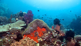 Recife coral indonésio fotos de stock