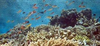 Recife coral indonésio raso foto de stock royalty free