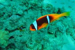 Recife coral no Mar Vermelho fotos de stock