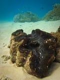 Recife de barreira gigante dos moluscos gigantes grande imagem de stock royalty free