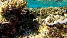 Recife de corais colorido bonito na água pouco profunda, movimento lento filme