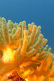 Recife de corais com o grande coral macio amarelo - subaquático Fotografia de Stock Royalty Free