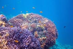 Recife de corais com peixes tropicais Foto subaquática dos animais tropicais do litoral imagens de stock