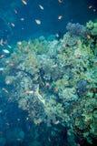 Recife de corais do Mar Vermelho Imagem de Stock