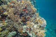 Recife de corais do Mar Vermelho Imagens de Stock
